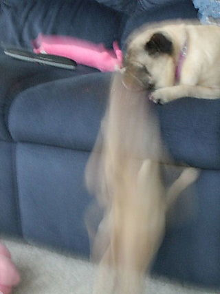 PugInMotion