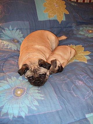 PugsSleepingFlowerBed