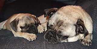 SleepingPugs