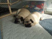 TwoSleepyPugs