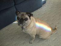 RainbowPug
