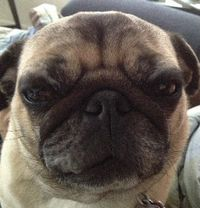 Selfie_LittlePug