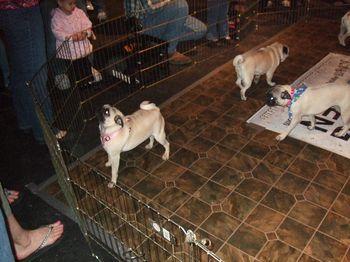01 Pounchkie Checks Out the Pug Pen